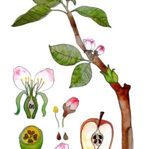 Frau Ottilie Print Apfelblüte